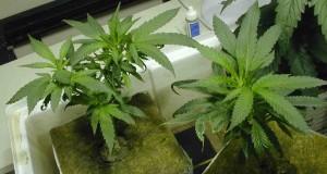 3756_hydro-marijuana-plant