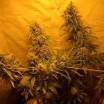 marijuana_29