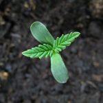 Productos necesarios para sembrar marihuana