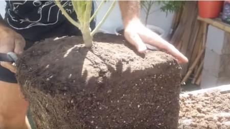 Aprende los Transplantes de tus Plantas de Marihuana